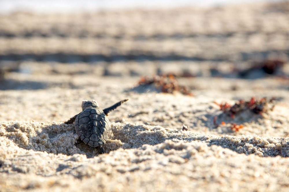 """A loggerhead hatchling begins its journey to sea. So little has been known about the early part of sea turtles' lives that this period is often called the """"lost years."""" © KATE L. MANSFIELD"""