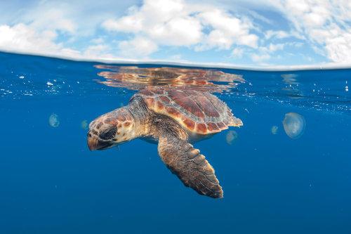 Atlantic Loggerheads: Why Isn't the Best Understood Sea