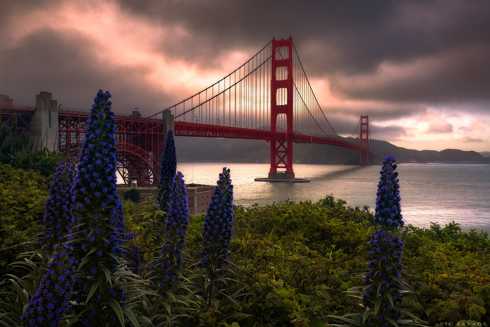 Golden_Gate_Bridge_Lupine.jpg