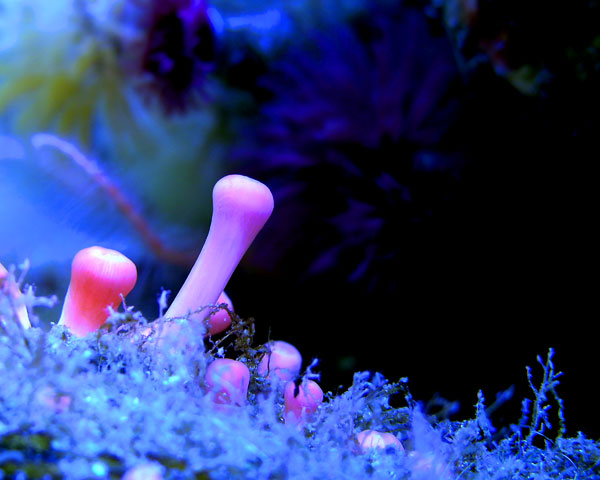PINK CORAL FINGERS