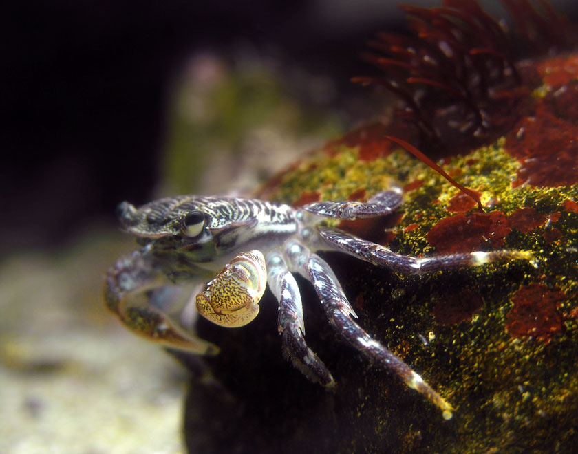CRAB ON A ROCK, LEANING OUT
