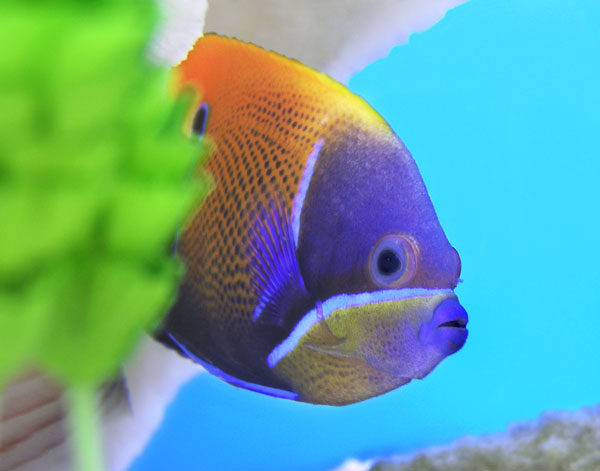 LOOKING GOOD! This colorful fish displays great self-esteem.
