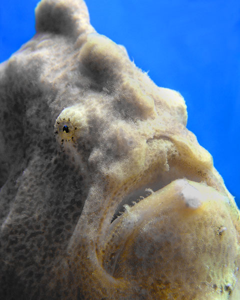 HANDSOME FROGFISH.  A face only a mother could love.