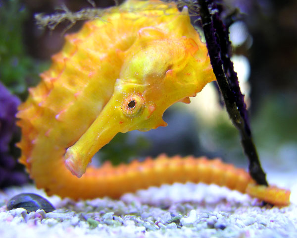 SCRUNCHED SEAHORSE
