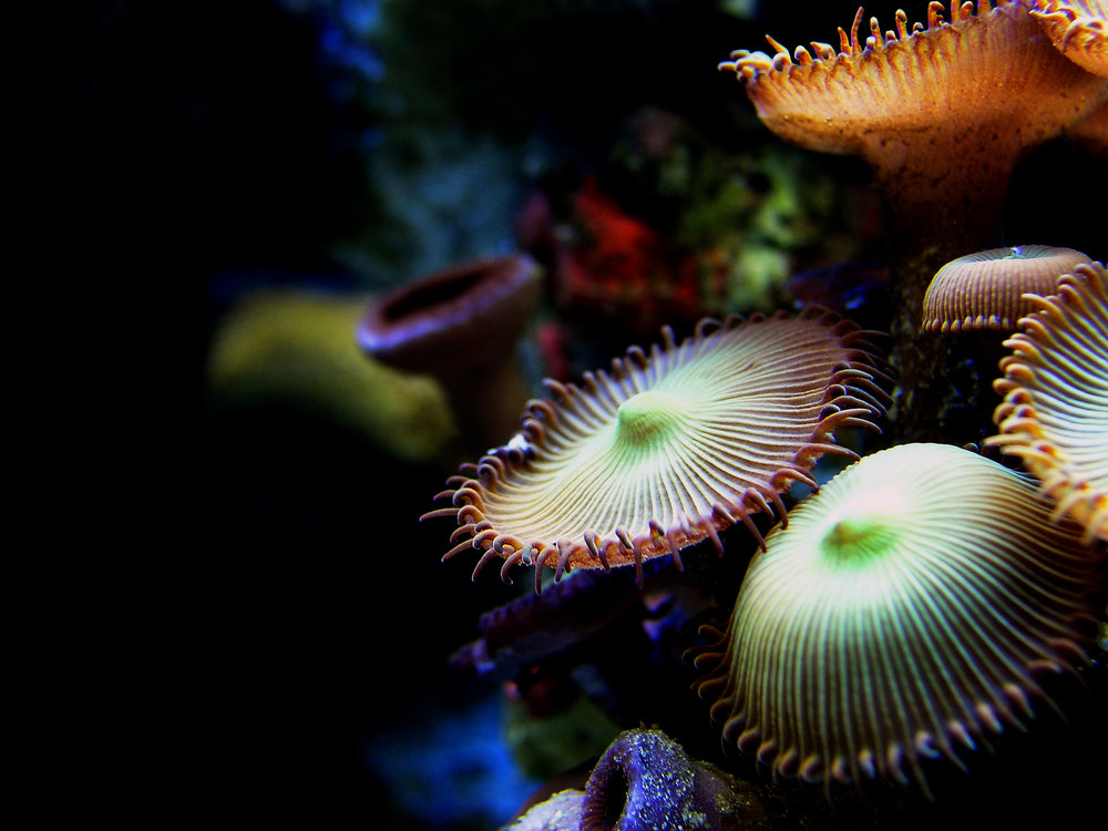 BUTTON POLYPS