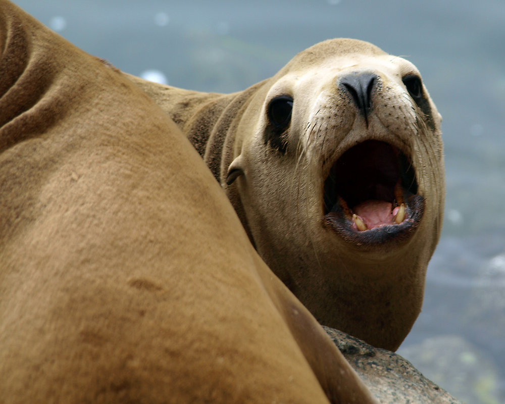 ROARING SEA LION, central California.