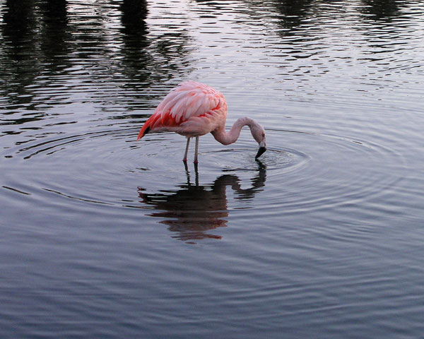 FLAMINGO ON TWO LEGS.  Why do flamingos stand on two legs? Because if they stood on no legs, they'd fall over!