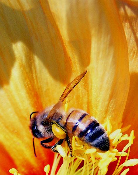 BEE ON ORANGE FLOWER CLOSEUP