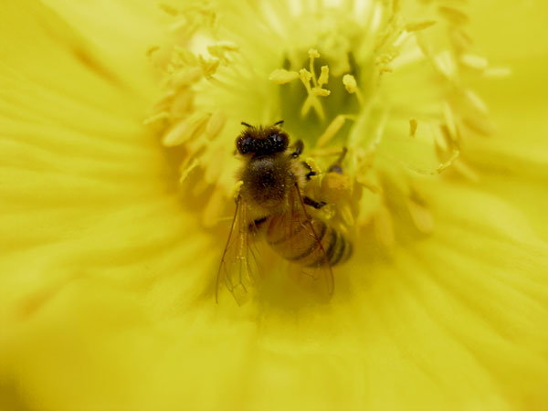 BEE COLLECTING POLLEN, CLOSEUP ON YELLOW FLOWER 2