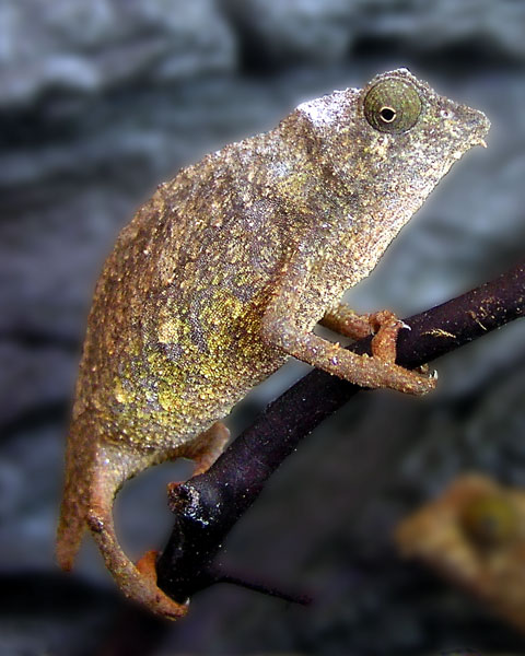 CHAMELEON HANGING OUT.  All chameleons are extremely cool creatures, so I love them as subjects.