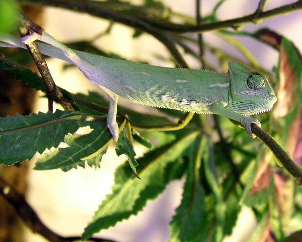 WHOA THERE, BIG FELLA!  Another cool chameleon for your dining and dancing pleasure.