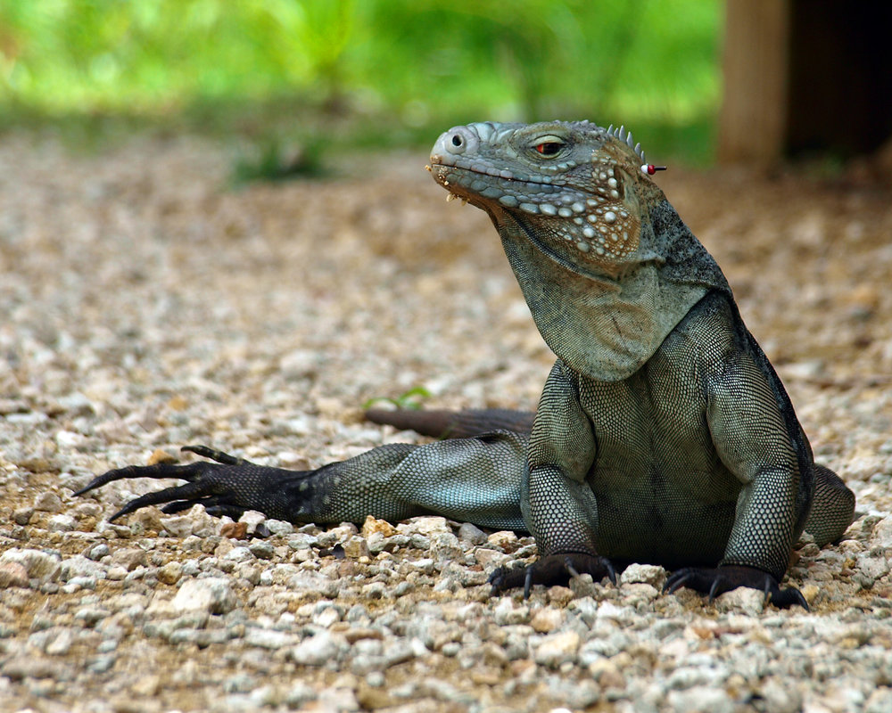 MAJESTIC LIZARD. Somewhat like the dragons of lore.
