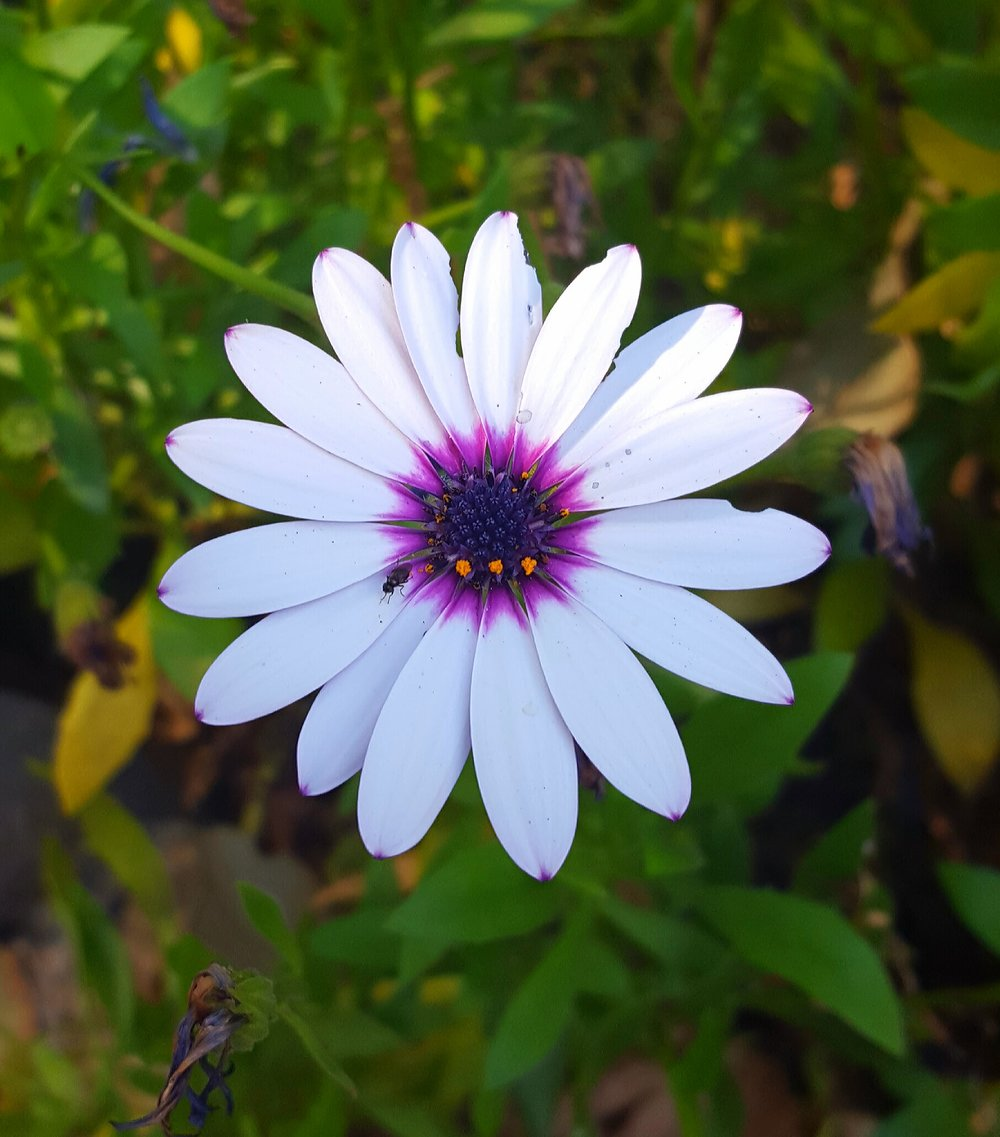 WHITE DAISY, Ojai, California.