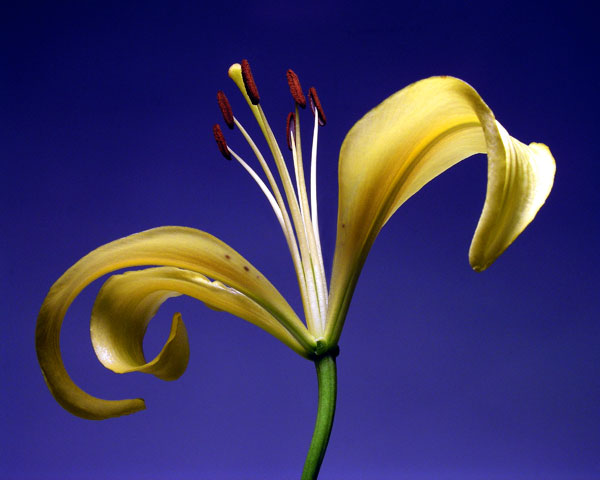 LILY ON BLUE