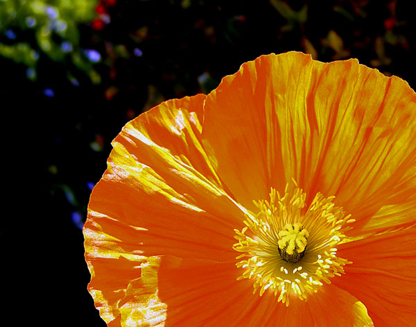 POPPY CLOSEUP.  This photo was taken in a field of poppies in Lancaster, California.
