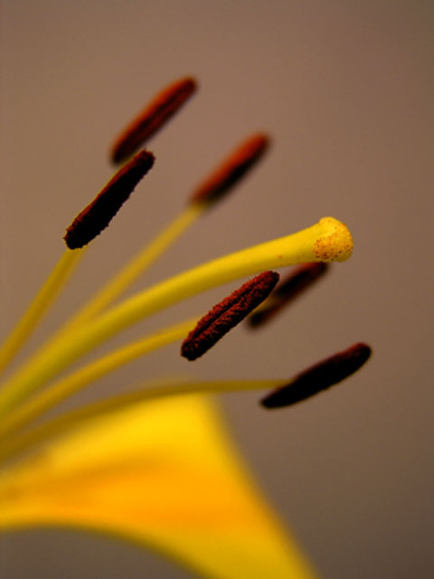 STAMEN AND PISTIL, CLOSEUP 2
