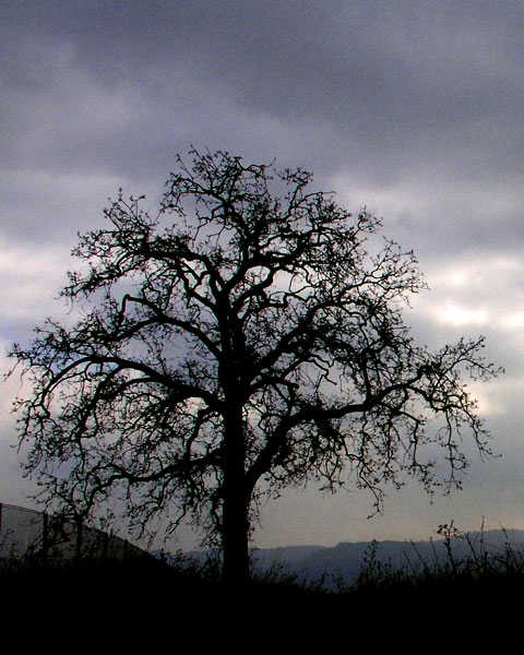 OLD ROAD OAK, Stevenson Ranch, California.