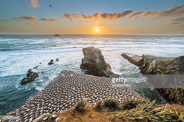 Gannet Colony, Muriwai Beach, Auckland