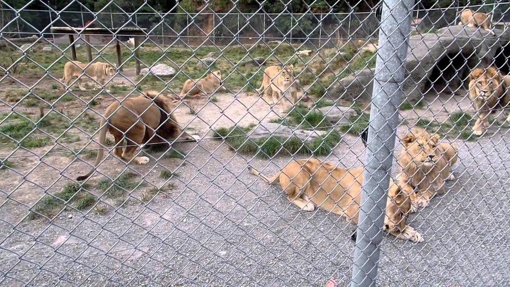 Lions at Paradise Springs, Rotorua