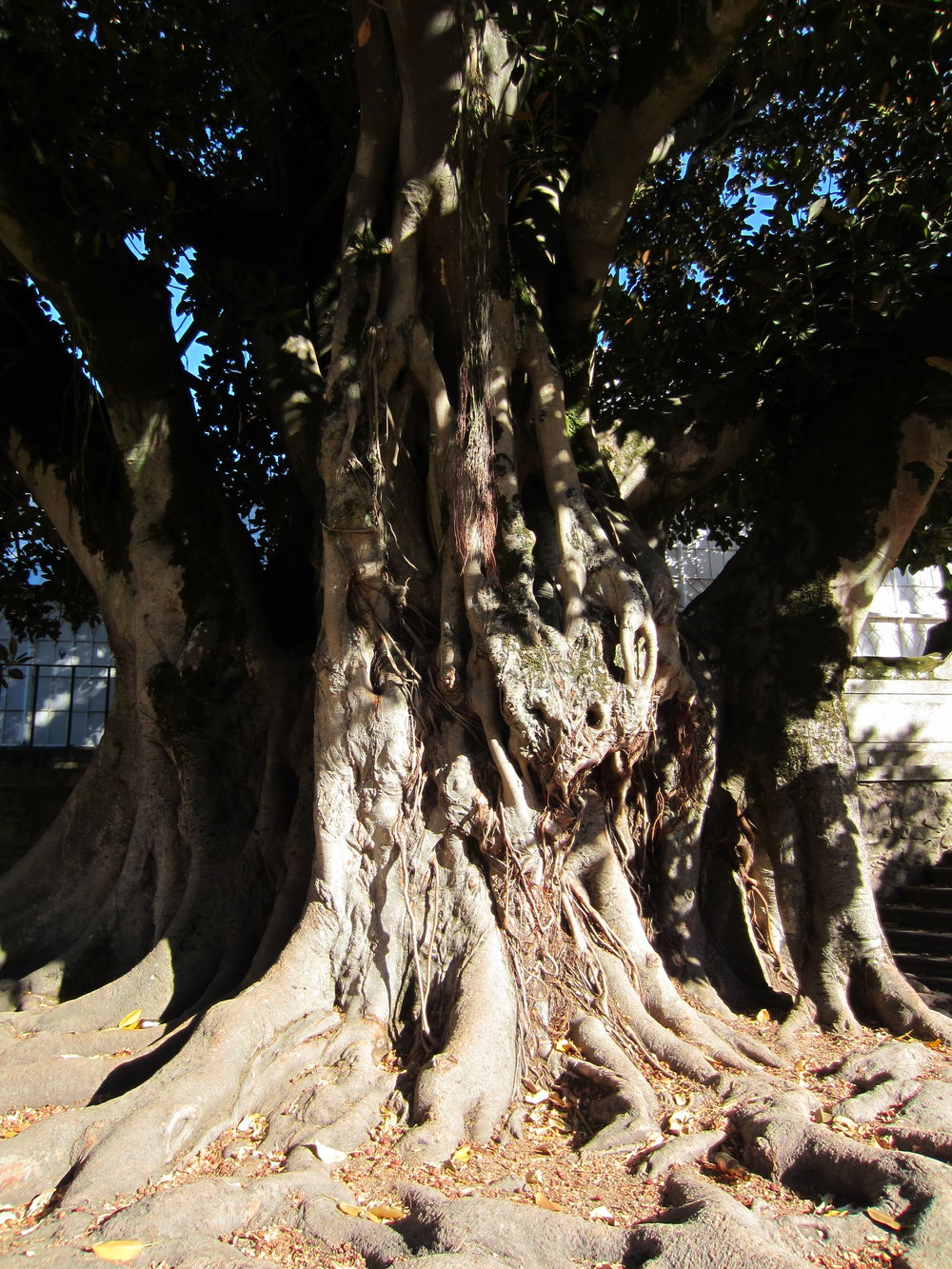 Ficus microcarpa, Mesao Frio, Portugal (2011)