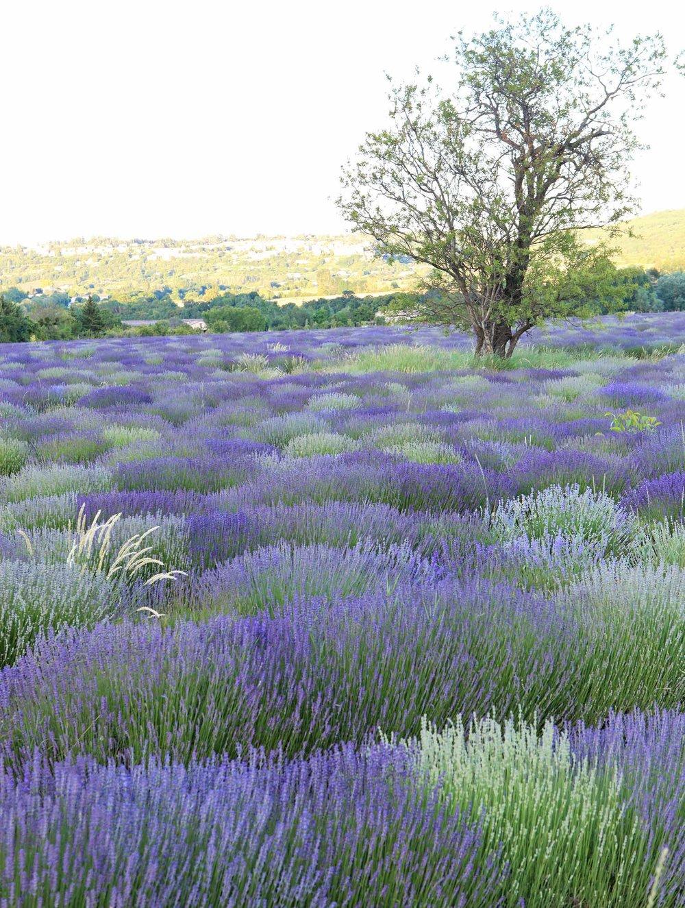 lavender-provence.jpg