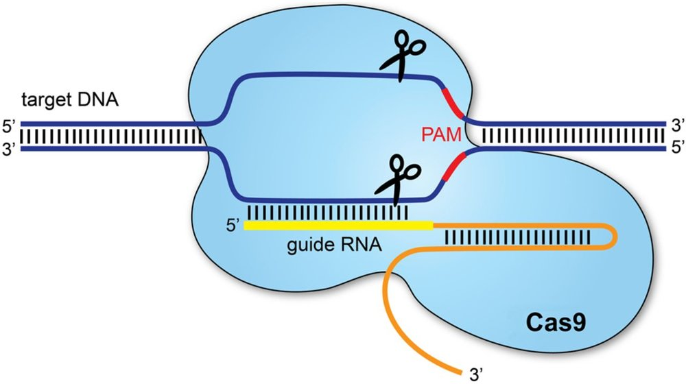 - CRISPR/Cas9 is a powerful gene editing platform that uses a single guide RNA (sgRNA) complementary to a target gene of interest. This RNA 'guides' the molecular scissors 'Cas9' to specific sites on the gene, where precise edits can be made, depending on the repair pathway the DNA takes. (image credit: Redman et al., 2016)