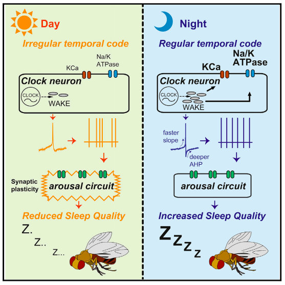 WAKE regulates sleep quality through appropriate timing of neural firing codes  (Credit: Tabuchi et al., 2018;  Cell )