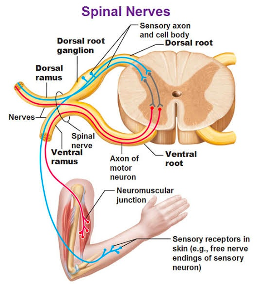 "The dorsal root ganglia (there's two at almost all vertebrae) relay sensory information arriving from everywhere in the body. They serve a key role in reflex responses (e.g., to a hot grill) that occur before the brain becomes ""aware"" that something happened, and they also act as a highway to transmit information to the spinal cord and up to the brain  (Credit:  Quora.com )"