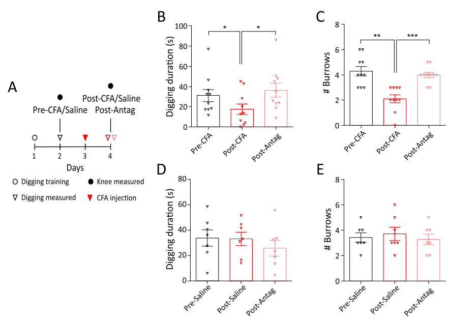 Blocking TRPV1 signaling using a receptor antagonist prevents inflammatory joint pain elicited by injections of CFA. In panels B and C you can see that without the antagonist, the mice fail to show their normal happy digging behaviors. However, with the antagonist, their behavior returns to normal, indicating that they are no longer in pain  (Credit: Chakrabarti et al., 2018;  Neuropharmacology )