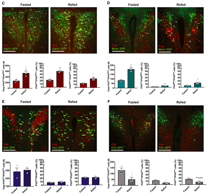 Induction of cFos in genetically-defined neuronal subtypes within the PVH after fasting or fasting followed by a 2-hour re-feeding session. As you can see, nearly all subtypes showed changes in activity (except Oxt neurons) with these manipulations. Some increased activity (Glp1r and Mc4r) while Crh neurons decreased their activity upon re-feeding. (cFos in RED with cell types in GREEN).  (Credit: Li et al., 2018)