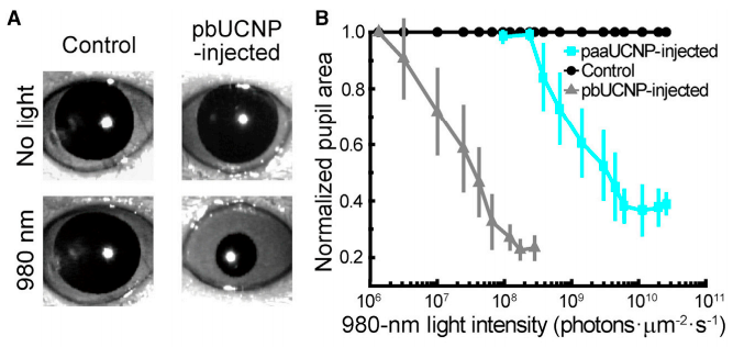 pbUNCPs allow for detection of near-infrared (NIR) light! Above, you can see the pupils of two mice, a control mouse injected with PBS, and a mouse injected with the pbUCNPs. As you can see, when exposed to no-light, both pupils are wide, indicating that they both interpret the environment as 'dark'. However, when exposed to NIR light (980 nm), only the mouse injected with pbUCNPs shows a pupillary light reflex (PLR), indicating that they are able to discern NIR light from darkness (an ability not possessed by control mice).  (Ma et al., 2019)
