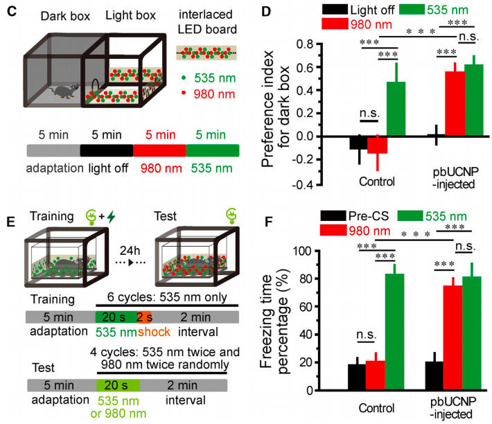 pbUCNP-injected mice recognize and respond to NIR light cues to elicit behavioral responses. The top two panels (C,D) show results of a light-dark box test, where mice can choose to be out in the open (in the light) or retreat into a dark box (which they naturally prefer). Control mice and those injected with pbUCNPs responded to visible light (525 nm) by retreating into the dark box, however when the light was in the NIR range (980 nm), only mice injected with pbUCNPs responded, while control mice could not discern a difference between 980 nm light and darkness. In the lower panels (E,F), mice were tested for their 'freezing' responses in a 'fear conditioning' paradigm. A 535 nm (visible) light was shown for 20s before a 2 second footshock for 6 cycles to let the mice form an associative memory (where light predicts a painful stimulus (shock)). Normal mice, after forming this memory show a 'freezing' or 'immobile' response to just the light, because they 'remember a shock is coming'. When the researchers illuminated the mice with 535 or 980 nm light after training, control mice only froze in response to the 525 nm light, while the pbUCNP injected mice froze in response to 535 and 980 nm light!  (Ma et al., 2019).