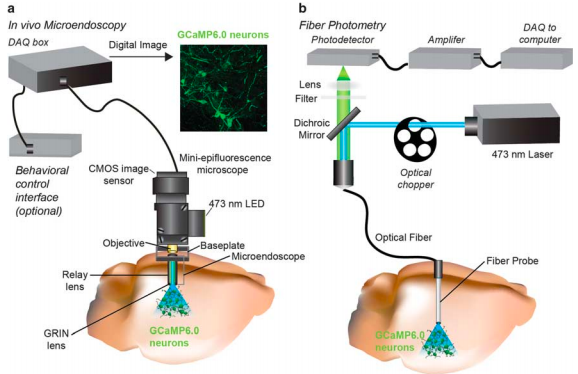 Both  in vivo  microendoscopy (a) and fiber photometry (b) measure neural activity by collecting light emitted by a fluorescent genetically encoded calcium indicator in neurons of interest (e.g., GCaMP6s). More cumbersome and harder to use, the microendoscope technique allows researchers to examine the activity of individual cells over long periods of time in awake, behaving mice. This is a major advantage over fiber photometry, as it allows one to understand how different cells in the circuit act in response to various stimuli. (Credit:    Resendez & Stuber, 2015   ).