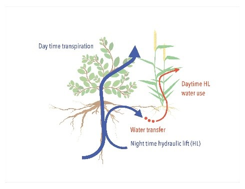 Bogie, N., Bayala, R., Diedhiou, I., Conklin, M., Fogel, M., Dick, R., and Ghezzehei, T. 2008. Hydraulic redistribution by native sahelian shrubs : bioirrigation to resis in-season drought.  Frontiers in Environmental Science     https://doi.org/10.3389/fenvs.2018.00098   .