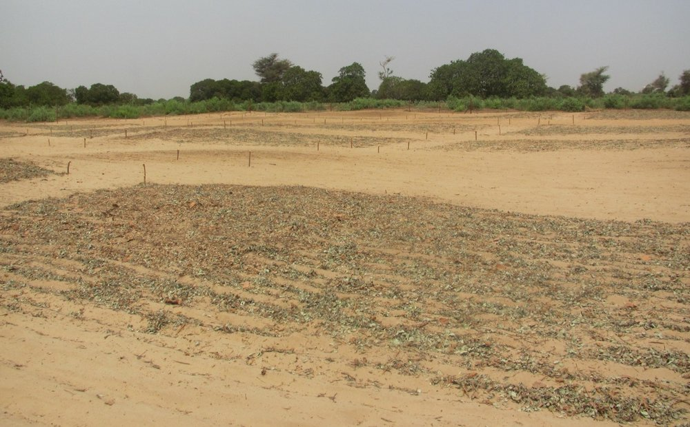 Darker soils are from long-term Optimized Shrub System management beginning in 2004 - resulting in significantly higher soil fertility.    Dossa, E.L. M. Khouma, I. Diedhiou, M. Sene, F. Kizito, A.N. Badiane, S.A.N. Samba, and R.P. Dick.    Carbon, nitrogen and phosphorus mineralization potential of semiarid Sahelian soils amended with native shrub residues Geoderma 148:251–260     Lufafa, A., I. Diédhiou, S. Ndiaye, M. Séné, M. Khouma, F. Kizito, R.P. Dick, and J.S. Noller. 2008.    Carbon stocks and patterns  in native shrub communities of Sénégal's Peanut Basin. Geoderma 146: 75-82.     Lufafa, A., Wright, D., Bolte, J., Diédhiou, I., Khouma, M., Kizito, F., Dick, R.P., Noller, J.S., 2008.    Regional carbon stocks and dynamics in native woody shrub communities of Senegal's Peanut Basin. Agriculture, Ecosystems and Environment 128:1–11.