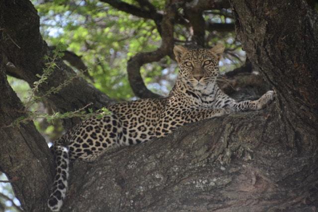 Serengeti's Elusive Leopard