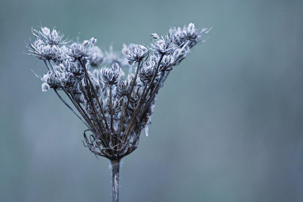 Winterdistel.jpg