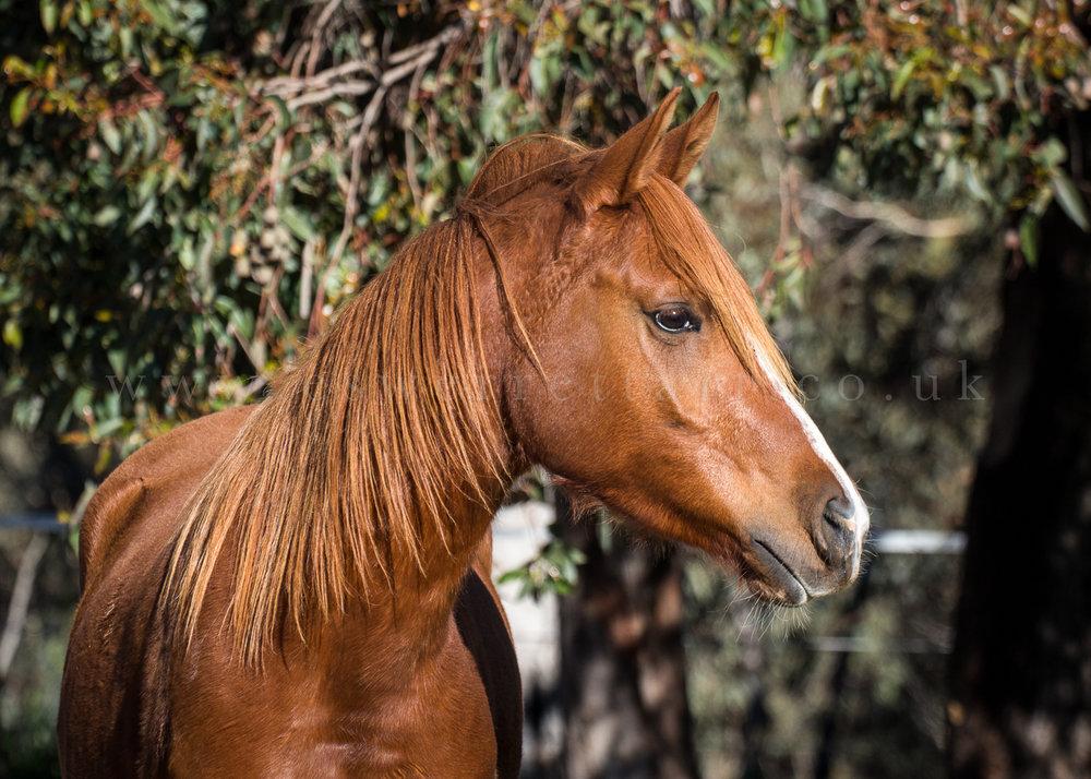 Horse aus.jpg