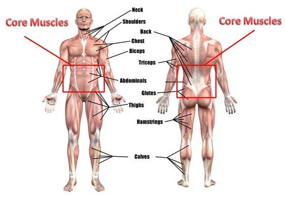 image from:  http://coremusclesdoshinishi.blogspot.com/2017/02/list-of-core-muscles.html