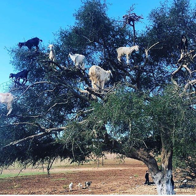 Goat tree.  #amoveablefeast #amf #marrakech