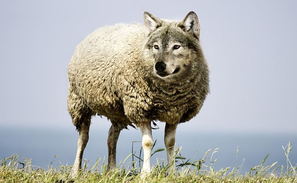 wolf sheep.jpg
