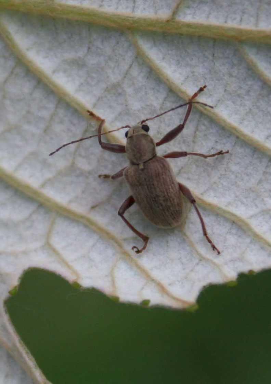 adult-rootworm-beetle.jpg