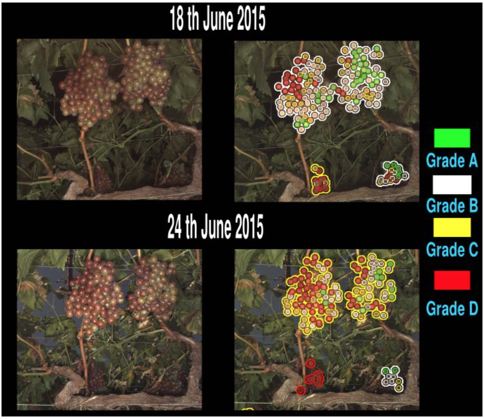 Figure 2: Automated grading of grape clusters. (Left) Raw image of grape clusters in the field. (Right) Image of detected grape clusters and their associated grade based on color development. Berries that are well-colored (Grade D) are highlighted by red, immature berries (grade A) are highlighted by green.