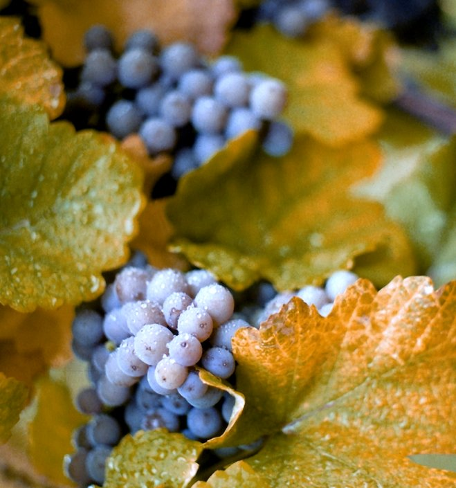 ConcordGrapes.jpg