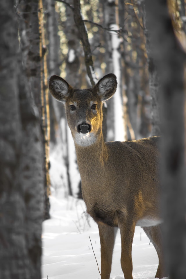 whitetail-Doe