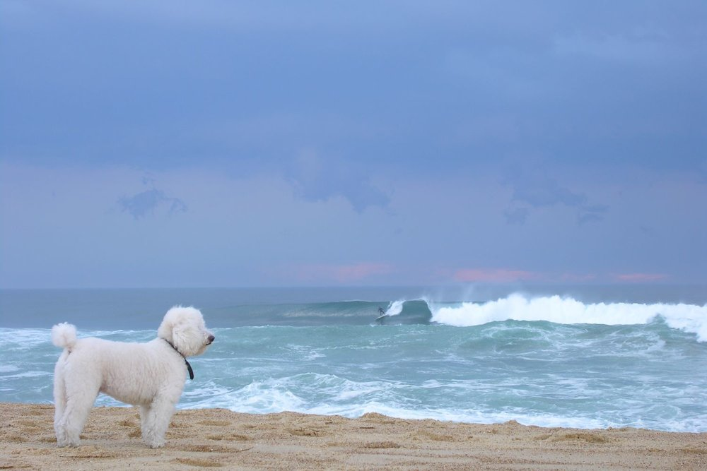 Hossegor | White poodle watching a surfer | Atlantic ocean | Photo sandrine cohen