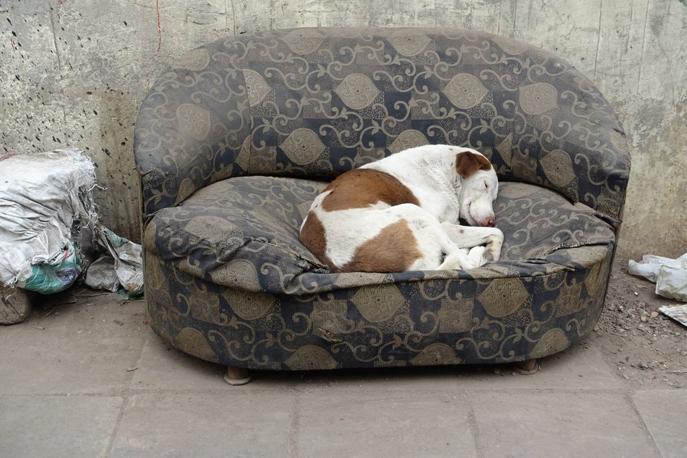 Dog in a sofa at Old Delhi | Delhi | India | photo sandrine cohen