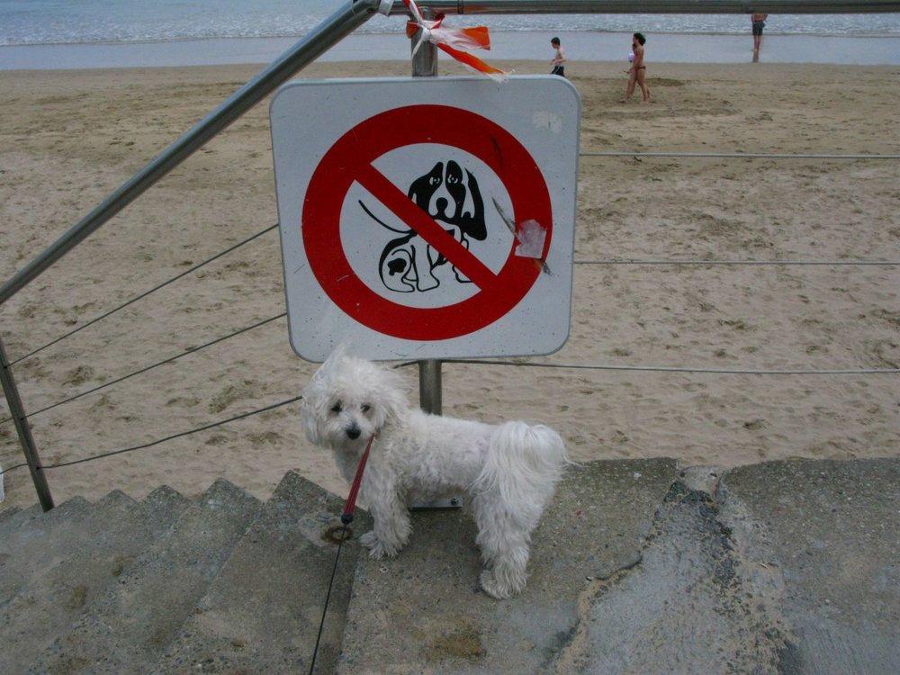 Plage interdite aux chiens | Bichon maltais | photo sandrine cohen