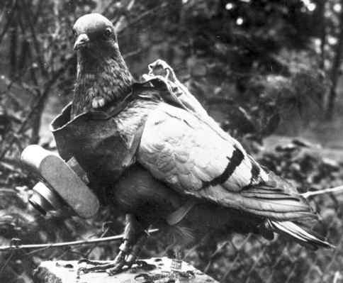 This pigeon could take aerial photos of the opposition.