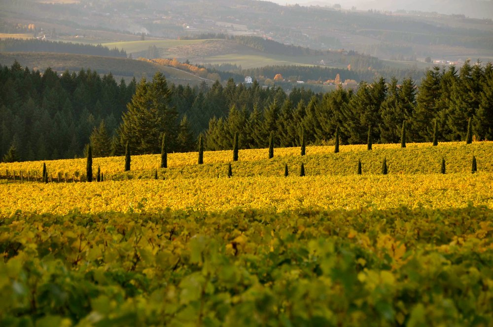 Alloro Vineyard in SHerwood, Oregon